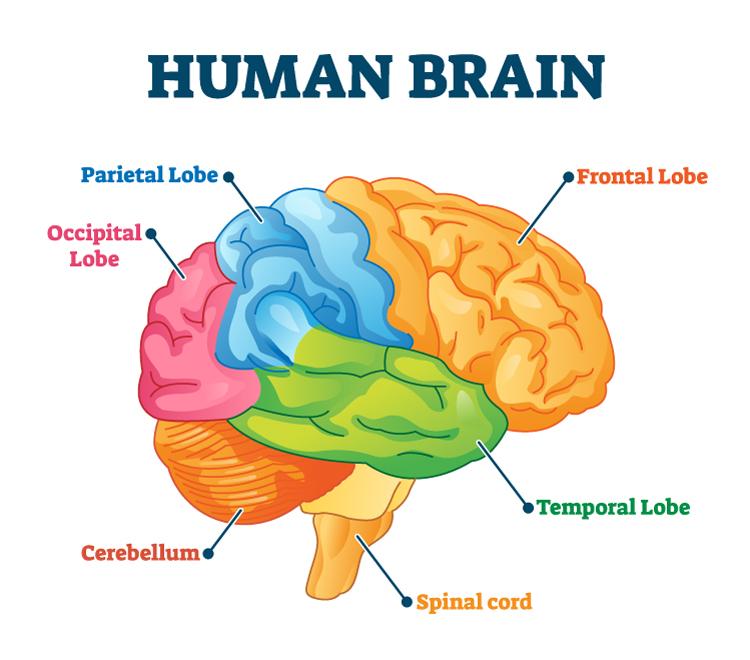 Schéma du cerveau humain. Les fonctions exécutives.